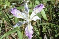 Iris thompsonii