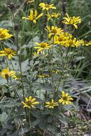 Heliopsis helianthoides var. scabra