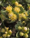Baccharis pilularis ssp. pilularis