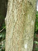 Acer miyabei ssp. miyabei