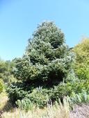 Abies nordmanniana ssp. equi-trojani