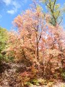 Acer grandidentatum