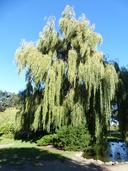 Salix x sepulcralis