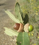Quercus arizonica