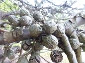 Cupressus arizonica var. glabra