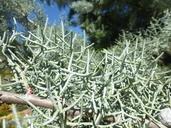 Cupressus arizonica