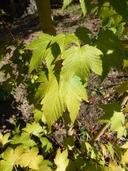 Acer Argutum Deep Veined Maple Discover Life