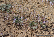 Gilia leptantha ssp. pinetorum