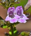 Calamintha sylvatica ssp. ascendens