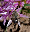 Anthophora sp. ?