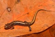 Desmognathus ochrophaeus