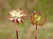 Trifolium buckwestiorum