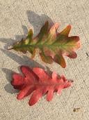 Quercus alba x quercus robur