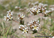 Ivesia unguiculata