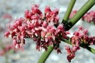 Eriogonum hoffmannii