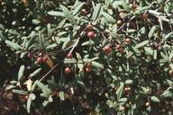 Frangula californica