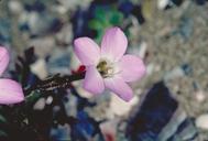 Gilia tenuiflora ssp. hoffmannii