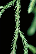 Selaginella oregana