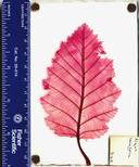 Alnus incana tenuifolia