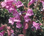 Davidson's Beardtongue