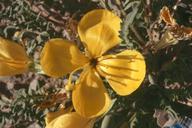 Taraxia tanacetifolia