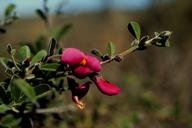 Pickeringia montana var. tomentosa