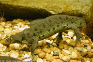 Spanish Ribbed Newt