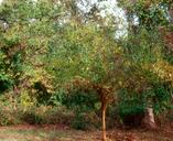 Maclura pomifera