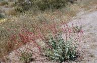 Penstemon bicolor ssp. roseus