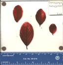 Cercocarpus betuloides