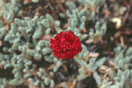 Eriogonum gracilipes