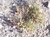 Astragalus whitneyi var. lenophyllus