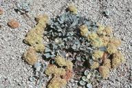 Eriogonum lobbii var. lobbii