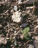 Eriogonum nudum var. nudum