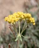 Eriogonum umbellatum var. nevadense