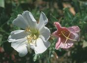 Oenothera californica ssp. californica