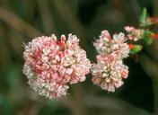 Eriogonum parvifolium