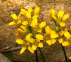 Draba asterophora