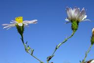 Lessingia filaginifolia