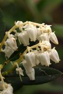 Leucothoe davisiae