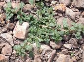Amaranthus californicus