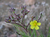 Helianthemum greenei
