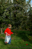 Child collecting apples for pressing cider.