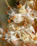 Cuscuta californica var. papillosa