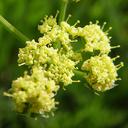 Lomatium caruifolium
