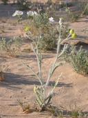 Baileya pauciradiata