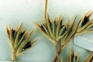 Juncus bufonius var. congestus