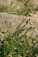 Eleocharis acicularis var. acicularis