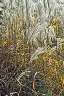 Miscanthus sacchariflorus
