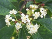 Photinia sp.